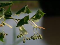 Frukter för Tiliacordata (Tiliacordata) Royaltyfria Bilder
