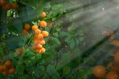 Frukter frö av himmelblomman Royaltyfri Foto