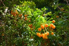 Frukter frö av himmelblomman Arkivfoto