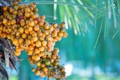frukter gömma i handflatan frö Fotografering för Bildbyråer