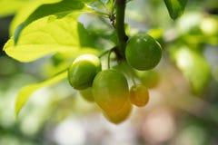 Frukter gör grön den omogna plommonet på filialer av trädet arkivbilder