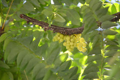 Frukter med det höga innehållet för vitamin C Fotografering för Bildbyråer
