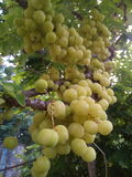 Frukter med det höga innehållet för vitamin C Royaltyfri Foto