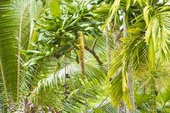 Frukter och blom i den tropiska rainforesten, Solomon Islands, South Pacific Fotografering för Bildbyråer