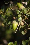 Frukter och filialer av en ek fotografering för bildbyråer