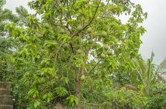 Frukter på avokadoträd royaltyfri fotografi