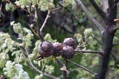 Frukter på trädet arkivfoto