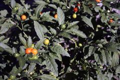 Frukter på trädet royaltyfri fotografi