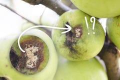 Frukter som smittas av de Apple sårskorpaVenturia inaequalisna royaltyfri fotografi