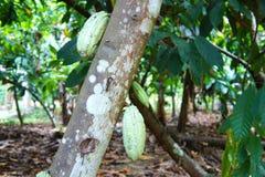 Frukterna av kakaoträdet Royaltyfri Fotografi