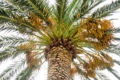 Frukterna av palmträd på promenaden av Budva i Montenegro Royaltyfria Foton