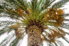 Frukterna av palmträd på promenaden av Budva, Montenegro Royaltyfri Fotografi
