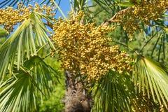 Frukterna av palmträdväderkvarnen gömma i handflatan förmögenhetlaten Trachycarpus Fortunei Royaltyfria Foton