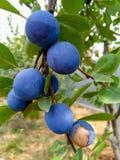 Frukterna av slånPrunusspinosaen royaltyfri fotografi