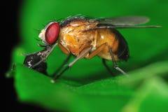 Fruktfluga royaltyfri foto