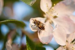 Fruktfluga Arkivfoto