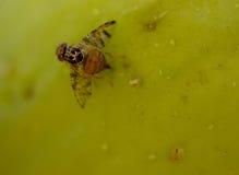 Fruktfluga på päronet Arkivbilder