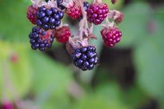 Fruktflugor Arkivfoton