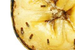 Fruktflugor på den ruttna bananen royaltyfri fotografi