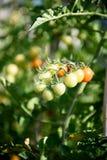 Fruktgrupp för körsbärsröd tomat på växtfilial Royaltyfri Foto