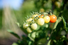 Fruktgrupp för körsbärsröd tomat på växtfilial Royaltyfria Bilder