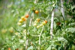 Fruktgrupp för körsbärsröd tomat på växtfilial Royaltyfri Bild