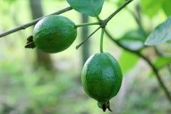 fruktguava Arkivfoto