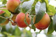 fruktpersika Arkivbilder