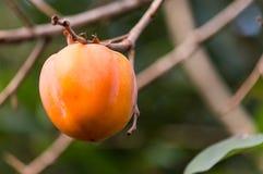 Fruktpersimonet Arkivbild