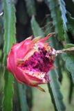 fruktpitahaya Royaltyfri Bild