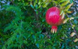 fruktpomegranate som visar den le kvinnan Royaltyfri Fotografi