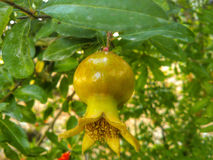 fruktpomegranate som visar den le kvinnan Royaltyfria Foton