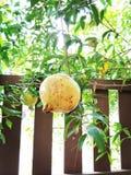 fruktpomegranate som visar den le kvinnan Royaltyfri Bild