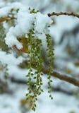 Fruktpopplar under snö Royaltyfri Foto