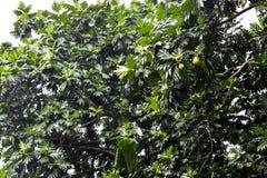 Fruktslagträ som hänger i mitt av det tropiska trädet efter det tropiska regnet i den Seychellerna ön Arkivfoto