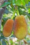 fruktstålartree Royaltyfri Fotografi