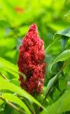 fruktstaghornsumac Arkivfoto