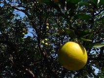 Fruktträd royaltyfria foton