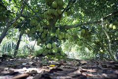 Fruktträd av Viet Nam Jackfruit Quá º£MÃt Trai Mit arkivbild