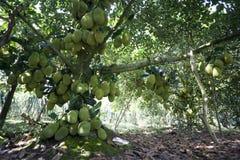 Fruktträd av Viet Nam Jackfruit Quá º£MÃt Trai Mit Royaltyfria Foton