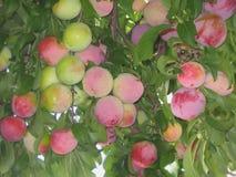 Fruktträd Santa Rosa Plum Royaltyfri Fotografi