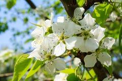Fruktträdblomningen Fotografering för Bildbyråer