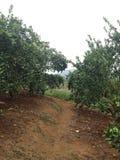 Fruktträden Royaltyfri Foto