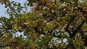 Fruktträdet täckas med mogna äpplen stock video