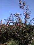 Fruktträdgård av äpplen royaltyfri bild
