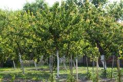 Fruktträdgård av aprikors och blyloder Royaltyfria Bilder