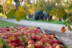 fruktträdgård för äpplefallskörd Fotografering för Bildbyråer