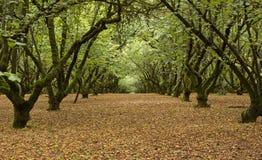 fruktträdgård för 01 filbert Fotografering för Bildbyråer