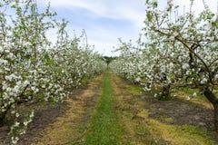 Fruktträdgård för Apple ` s Arkivbild