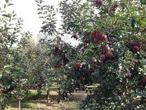 Fruktträdgård för Apple träd Arkivbild